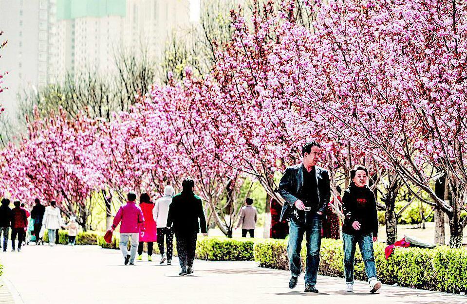 樱花灿烂和平绽放